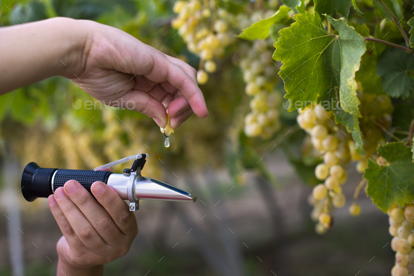 Farmer measure grape sweetness with refractometer. - Stock Photo - Images