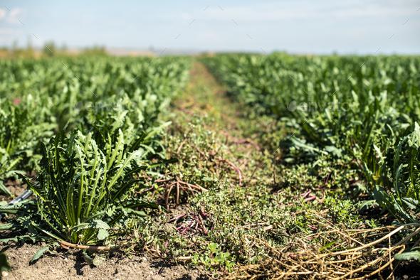 Chicory plantation. - Stock Photo - Images
