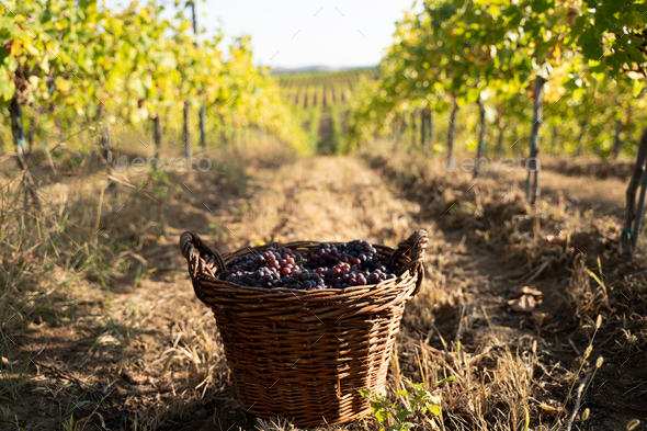 freshly harvested grapes in wicker baskets in the vineyard - Stock Photo - Images