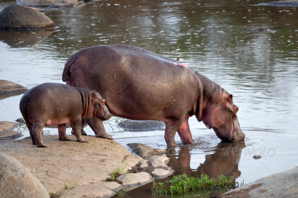 Hippo and her cub, Serengeti, Tanzania, Africa - Stock Photo - Images