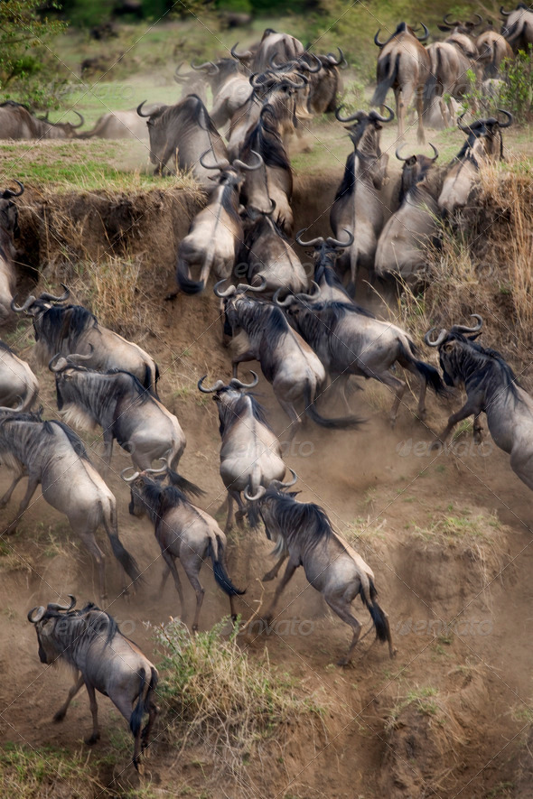 Wildebeest, Serengeti National Park, Serengeti, Tanzania, Africa - Stock Photo - Images