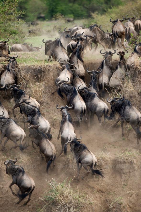 Wildebeest running in the Serengeti, Tanzania, Africa - Stock Photo - Images
