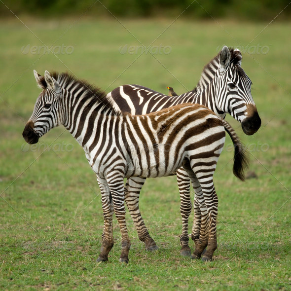 Two zebras standing in field of grass - Stock Photo - Images