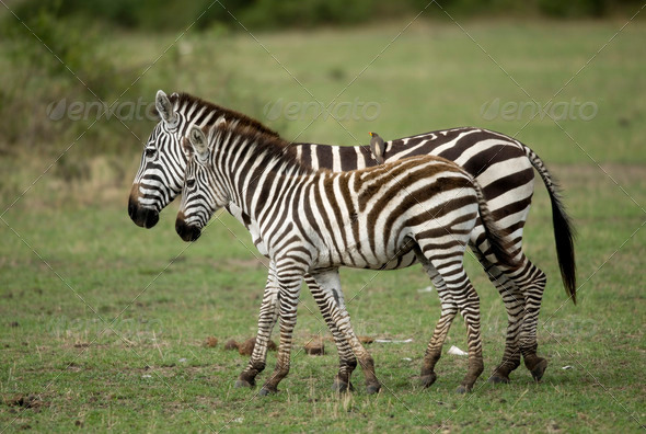 Zebra in Serengeti, Tanzania, Africa - Stock Photo - Images