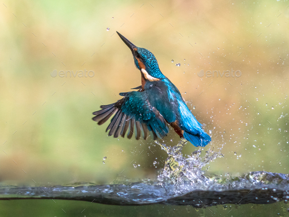 Common European Kingfisher emerging abstract - Stock Photo - Images