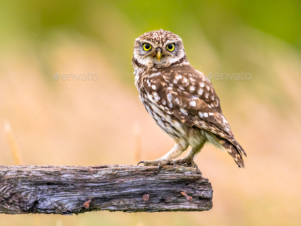 Little Owl perched on log - Stock Photo - Images