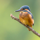 European Kingfisher perched on stick - PhotoDune Item for Sale