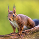 Red squirrel in tree - PhotoDune Item for Sale