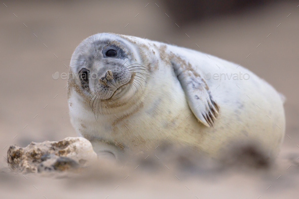 Cute baby harbor seal - Stock Photo - Images