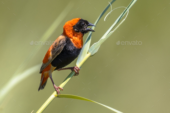 Southern Red Bishop in reed - Stock Photo - Images