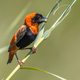 Southern Red Bishop in reed - PhotoDune Item for Sale