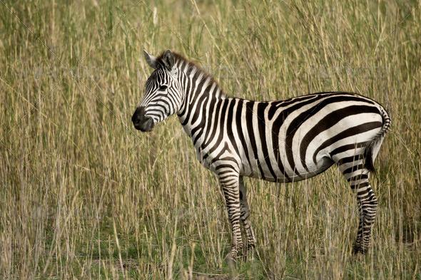 Zebra in Serengeti, Tanzania, Africa - Stock Photo - Images