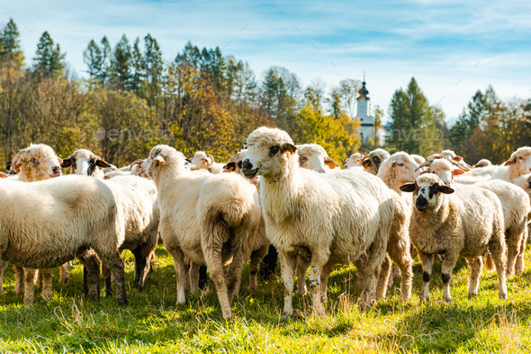 Many Sheeps in Herd Grazing on Pasture at Sunny Autumn Day - Stock Photo - Images