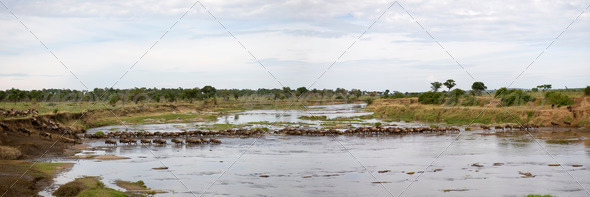 Wildebeest in river in the Serengeti, Tanzania, Africa - Stock Photo - Images