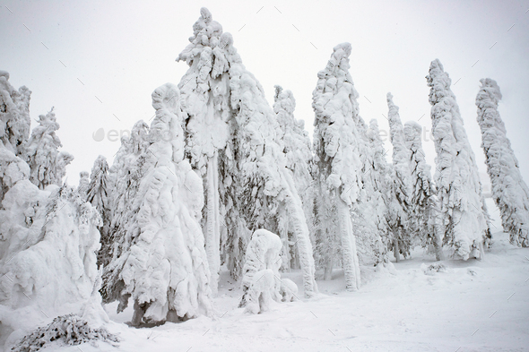 Snowy fir trees - Stock Photo - Images