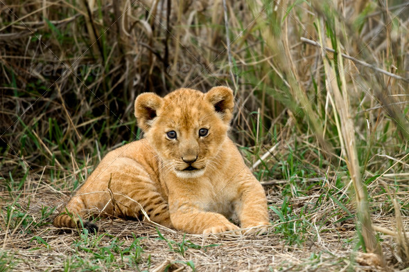 Front view of lion cub, Serengeti National Park, Serengeti, Tanzania - Stock Photo - Images