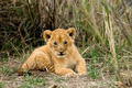Front view of lion cub, Serengeti National Park, Serengeti, Tanzania - PhotoDune Item for Sale