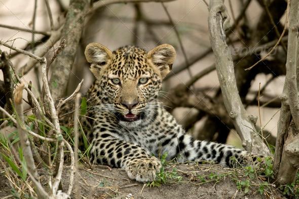 Close-up of a leopard, Serengeti National Park, Serengeti, Tanzania, Africa - Stock Photo - Images