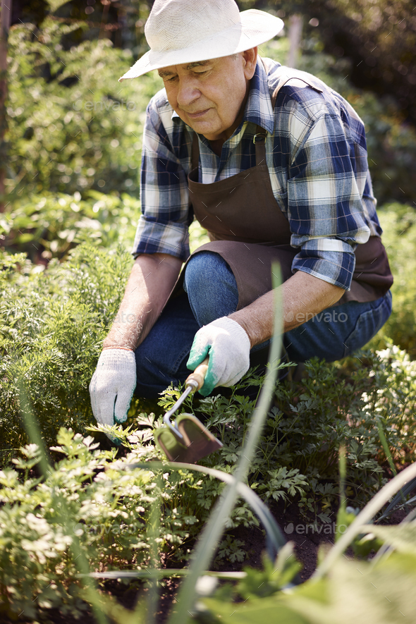 Senior man working in the field - Stock Photo - Images