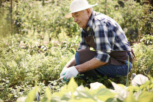 Senior man caring about vegetable garden - Stock Photo - Images