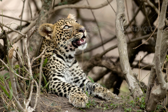 Young leopard in Serengeti, Tanzania, Africa - Stock Photo - Images
