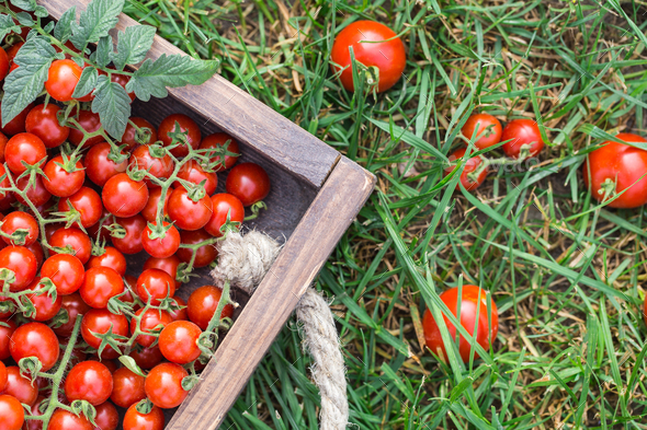 Ripe tomatoes on a wooden tray. On the grass - Stock Photo - Images
