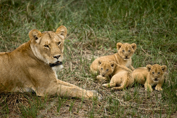 Lioness lying with her cubs in grass, looking at camera - Stock Photo - Images