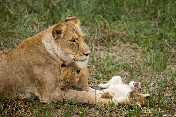 Lioness and her cubs in Serengeti, Tanzania, Africa - Stock Photo - Images