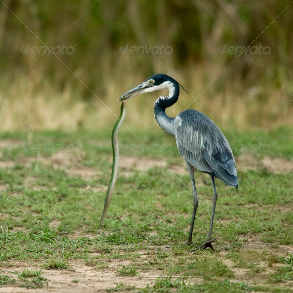 Black-headed Heron, Ardea melanocephala, with snake in beak - Stock Photo - Images