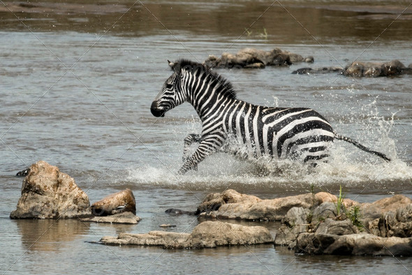 Zebra crossing river, Serengeti National Park, Serengeti, Tanzania - Stock Photo - Images