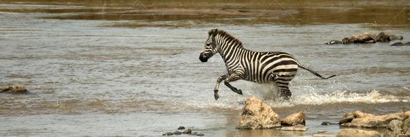 Zebra running through river in the Serengeti, Tanzania, Africa - Stock Photo - Images