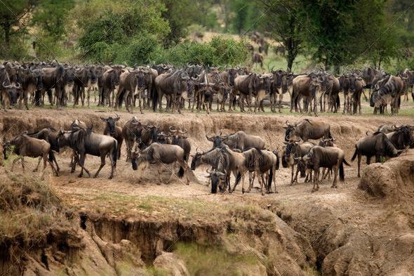 Wildebeest, Serengeti National Park, Serengeti, Tanzania, Africa - Stock Photo - Images