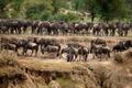 Wildebeest, Serengeti National Park, Serengeti, Tanzania, Africa - PhotoDune Item for Sale