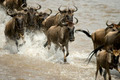 Wildebeest running in river in the Serengeti, Tanzania, Africa