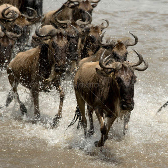 Wildebeest, crossing river Mara, Serengeti National Park, Serengeti, Tanzania, Africa - Stock Photo - Images