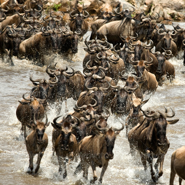Wildebeest running in river in the Serengeti, Tanzania, Africa - Stock Photo - Images