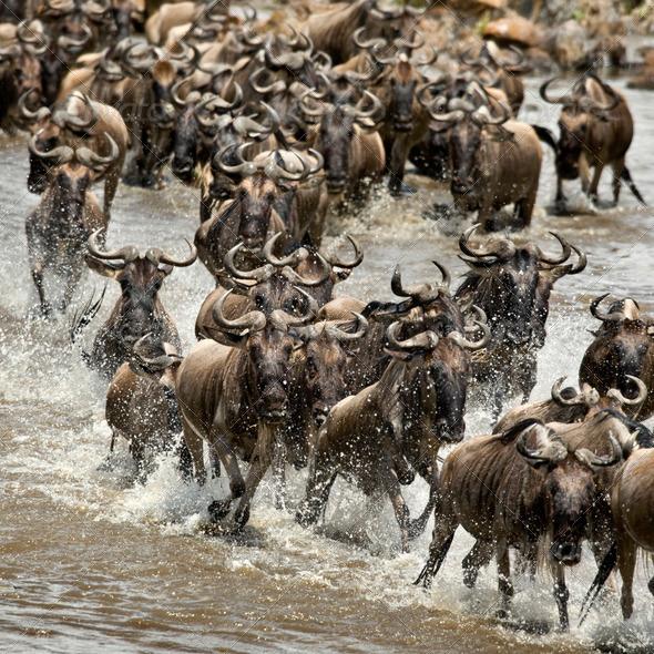 Wildebeest, crossing river Mara, Serengeti National Park, Serengeti, Tanzania, Africa - Stock Photo - Images