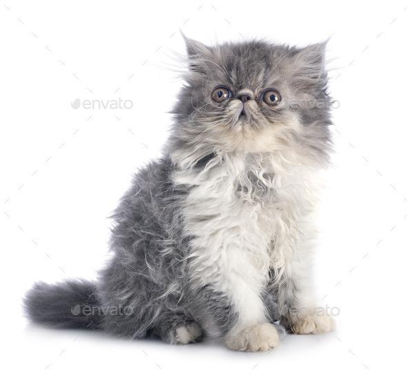 persian kitten in studio - Stock Photo - Images