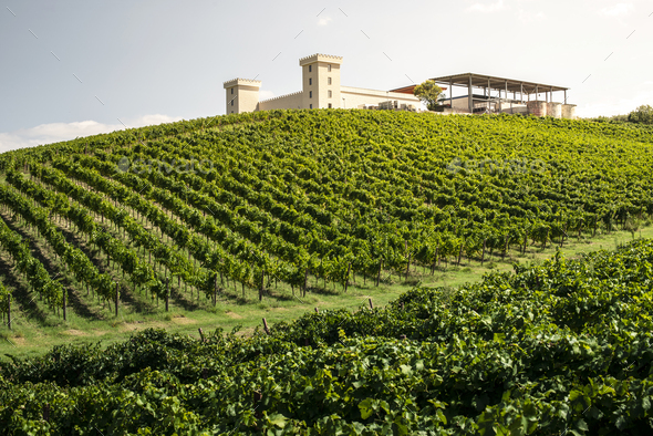 Winery on hill and vineyards rows. Winery building on top of the - Stock Photo - Images