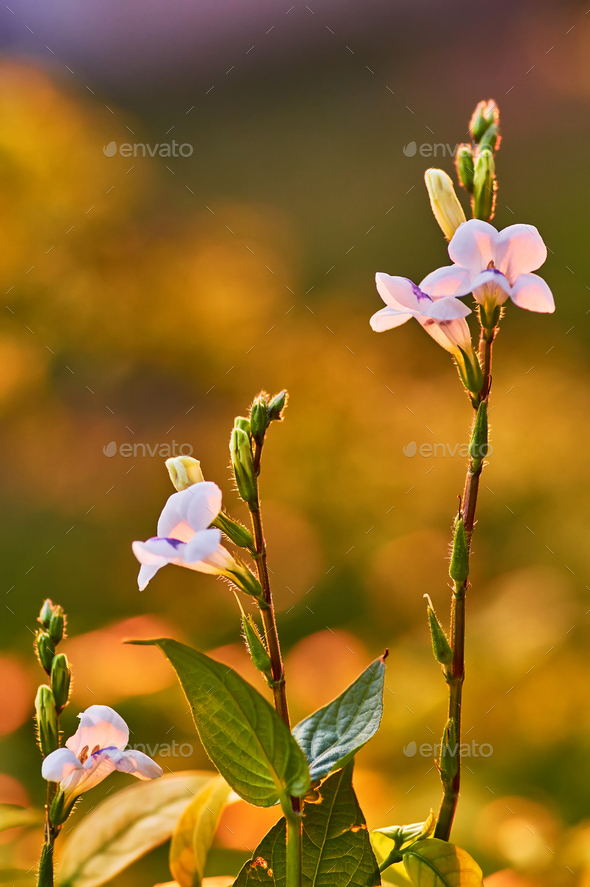Little white flower in golden light of the evening - Stock Photo - Images