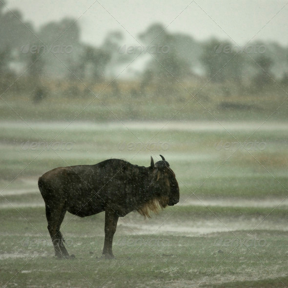 Wildebeest standing in the rain in the Serengeti, Tanzania, Africa - Stock Photo - Images
