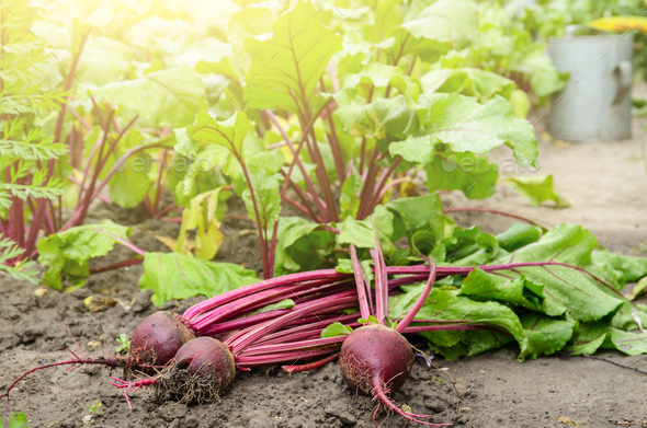 Just picked Red Beets on the garden soil closeup view - Stock Photo - Images