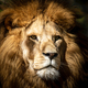 Portrait of a wild majestic male lion - PhotoDune Item for Sale