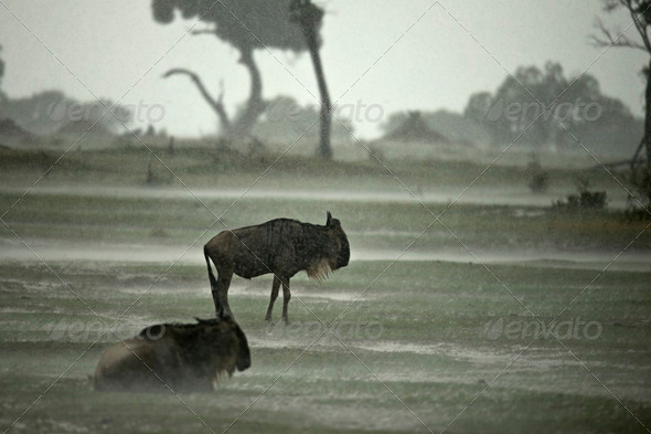 Wildebeest in the rain, Serengeti National Park, Serengeti, Tanzania, Africa