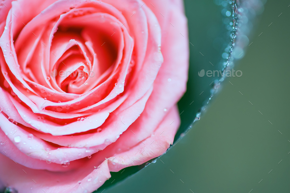 The middle of a red rose with water drops on petals. Close up, flower background - Stock Photo - Images