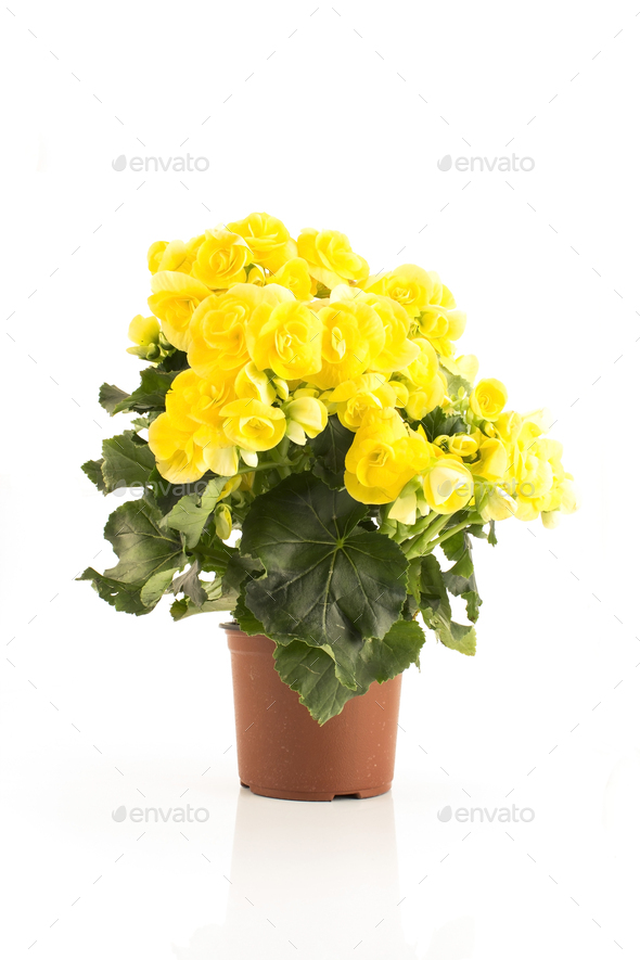 Yellow Begonia Potted Isolated on White - Stock Photo - Images