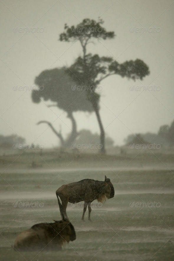 Wildebeest in the rain in the Serengeti, Tanzania, Africa - Stock Photo - Images