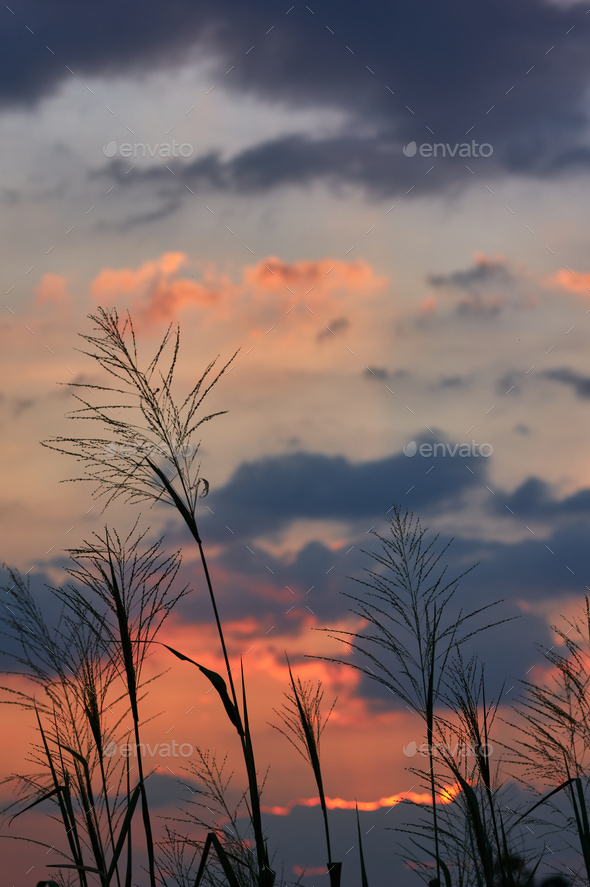 Silhouette of grass with the vivid sky of sunset - Stock Photo - Images