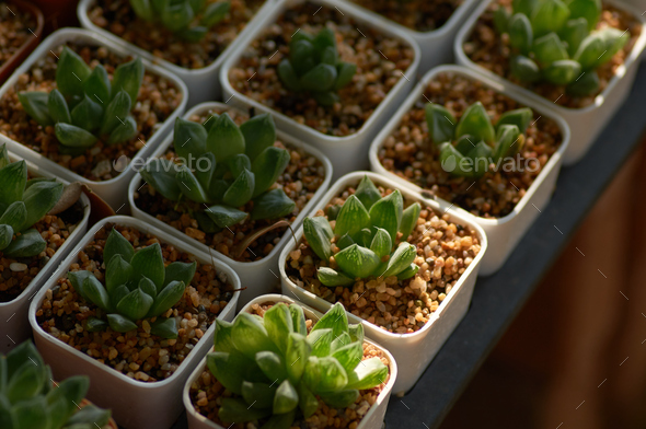 The potted succulents in the garden - Stock Photo - Images