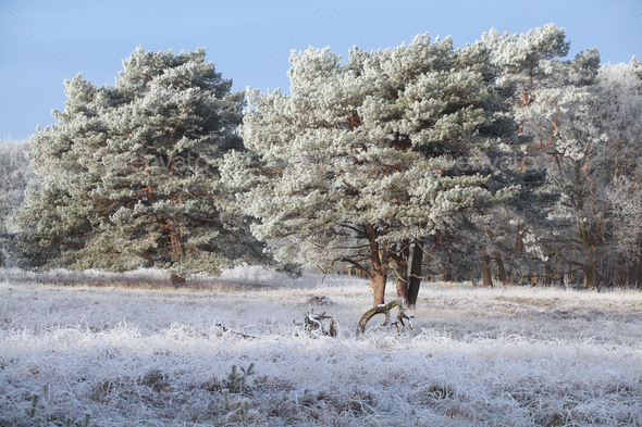 pine trees in strong frost during winter - Stock Photo - Images